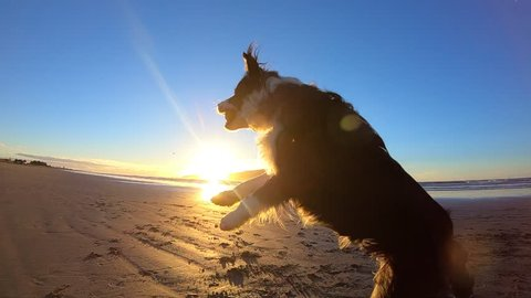 Border collie dogs jumps and catches tennis ball on beach at sunet