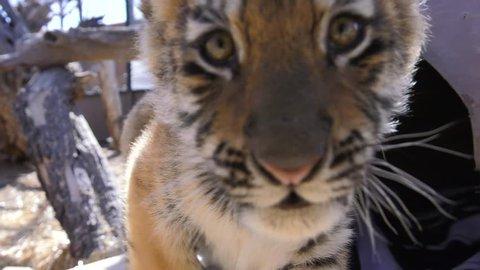 baby tiger growls at camera slow motion cute cub
