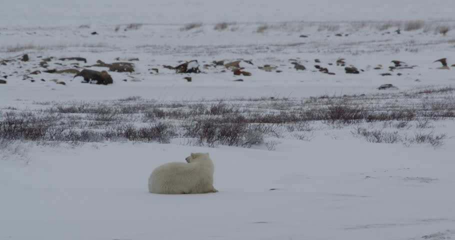Resting polar bear sits up from nap on sea ice to look around and lie back down near willows