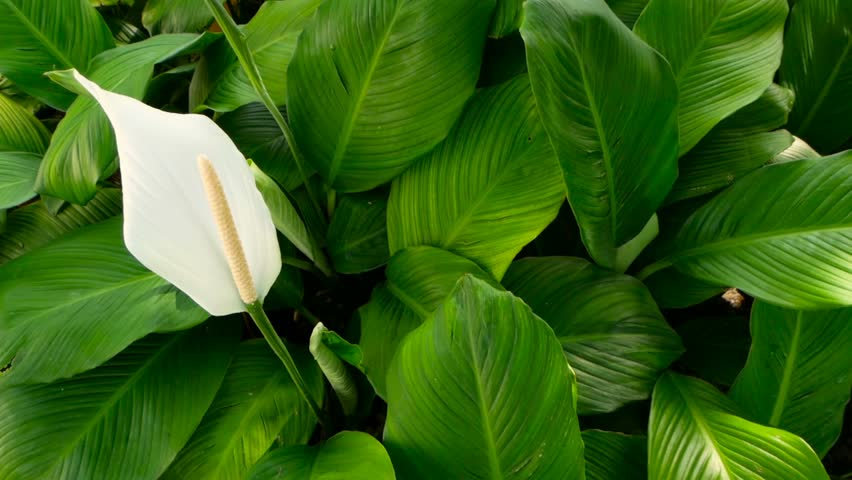 Gentle white calla lilly flower looks out from green fresh leaves in background.