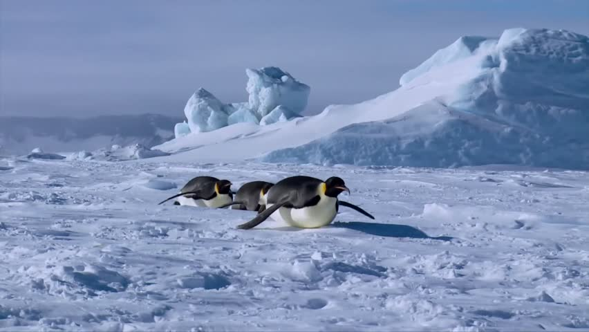 Group of cute little funny emperor penguins crawling in clear white cold winter snow in ice glacier antarctic landscape