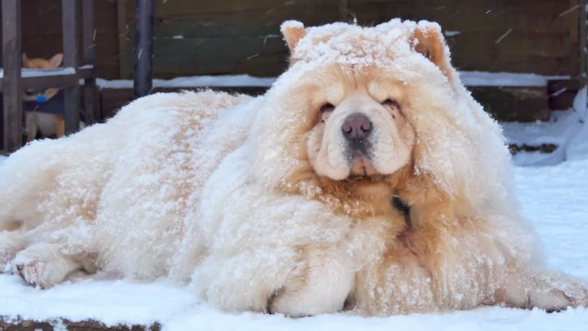 Chow chow covered in snow powder calmly lying in snow