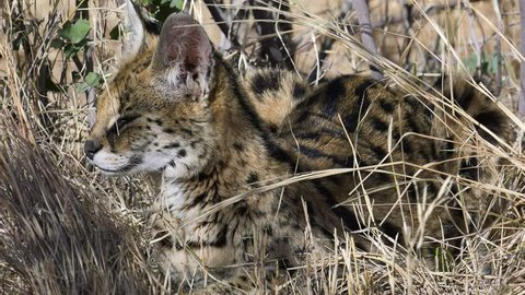 serval cat laying in long grass looking around