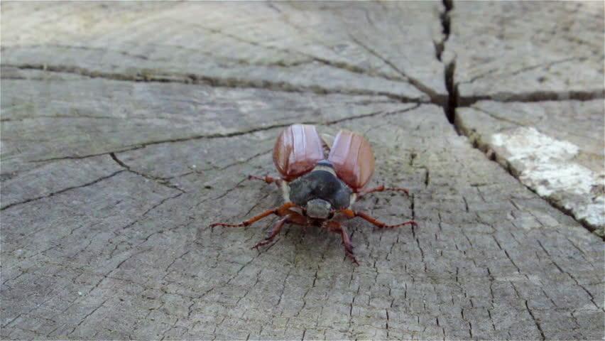 melolontha flies