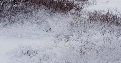 White ptarmigan blend in as they feed on snowy willows in arctic