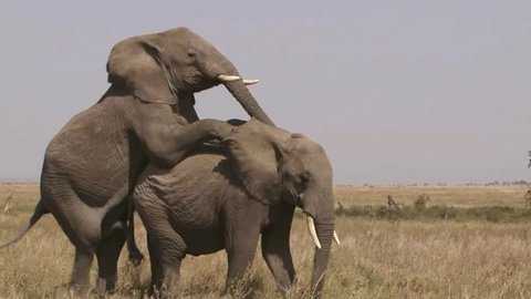 African elephant mating