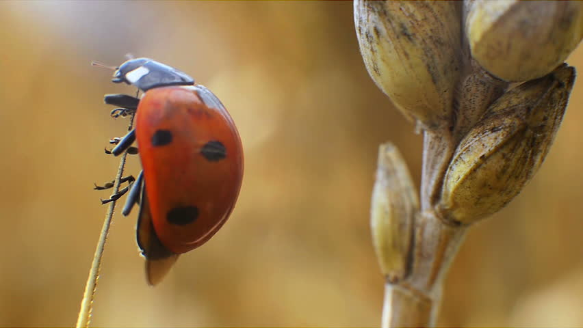 Ladybug Walking on the Ear of Wheat Warm Summer Day. It Comes up to the Top Ear of Wheat, Spread its Wings and Take Off. Filmed Close-up.