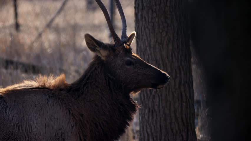 Close up view of an adult male bull elk deer with brown fur with steamy breath coming from its nostrils in Busse Forest Preserve with tall yellow grasses and trees in background in Elk Grove Village.