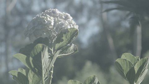 Closeup shot of white flower and leaves as they sway on a windy and shiny morning  - ProResHQ Ungraded Flat Profile