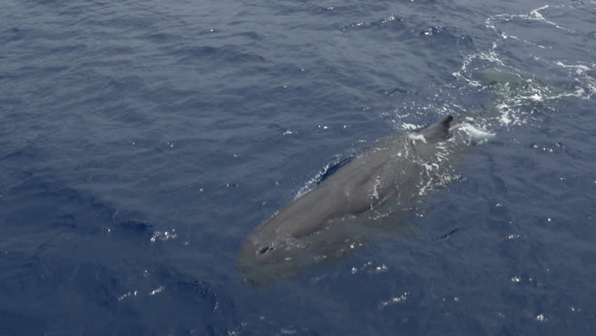 Sperm whale swimming in ocean, close shot, aerial view