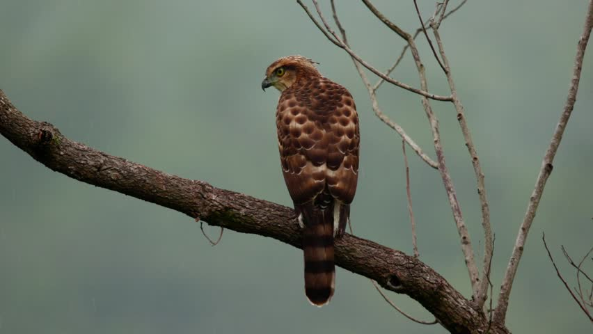Header of Accipiter trivirgatus formosae