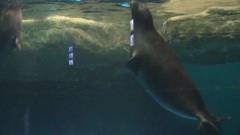 Sea seals swim and dive in the aquarium