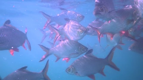 Nile tilapia in pond (Oreochromis niloticus) in Ratchaprapha Dam at Khao Sok National Park, Surat Thani Province, Thailand - coloured video in slow motion