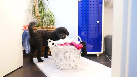 Funny dog takes laundry out of laundry basket