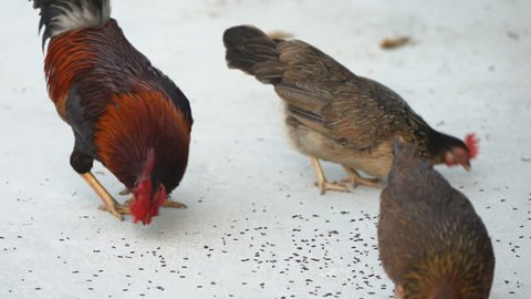 Rooster bantam crows and Bantam hens out for food on concrete background.