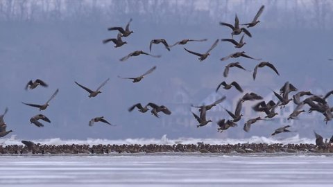 Flock of greater white-fronted geese (Anser albifrons) flying