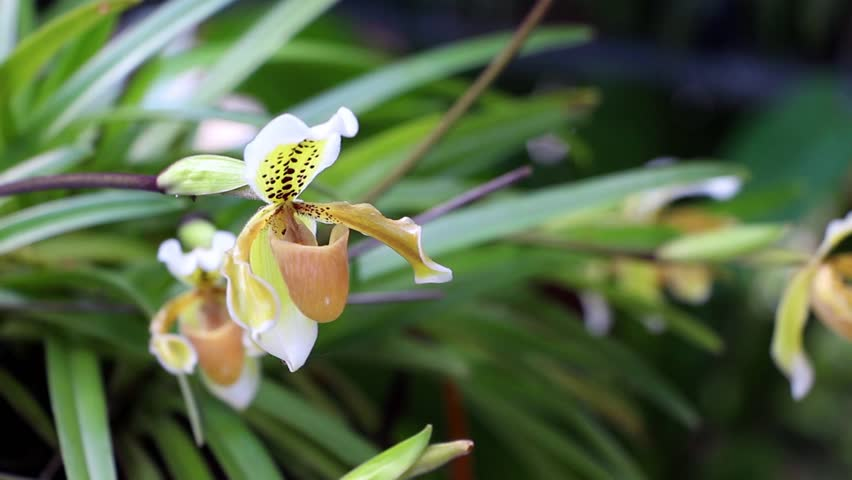 Paphiopedilum orchid flower or Lady's Slipper orchid, The flowers of which has a lip that is a conspicuous slipper-shaped pouch.