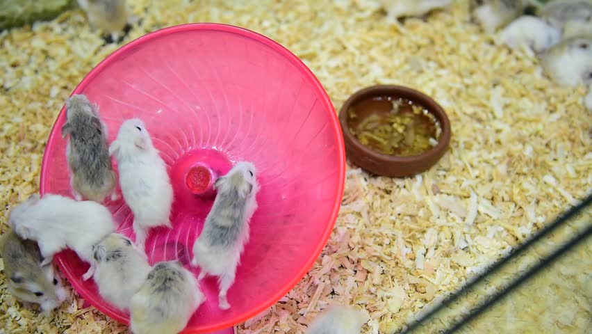 video of hamster rat running in circle track in pet shop.