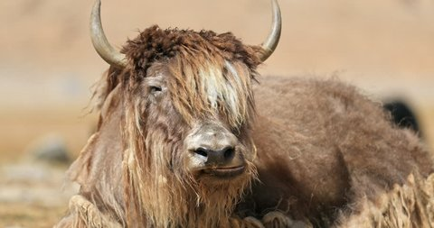 Beautiful male Yak bull with large horns and long fur looks at camera while chewing and resting on ground in highland valley in ladakh, northern India