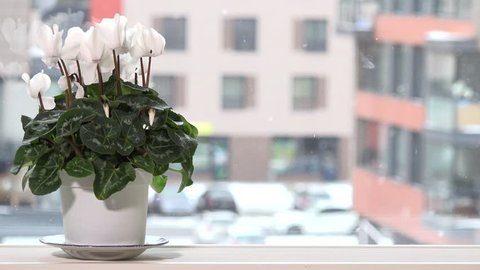 White cyclamen flower in pot on window sill and snow falling outside in winter time. Static closeup shot. 4K UHD