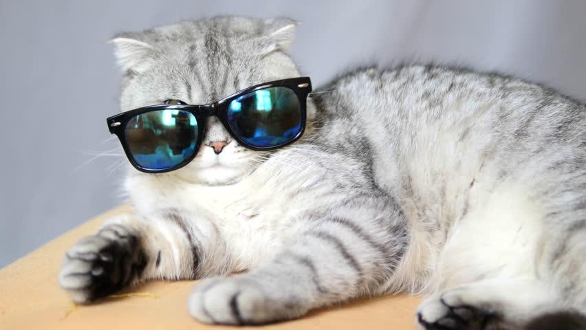 Scottish cat in sun glasses, funny cat, cat at the resort