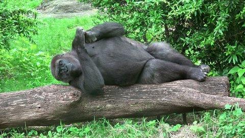 Western lowland gorilla (Gorilla gorilla gorilla) posing.