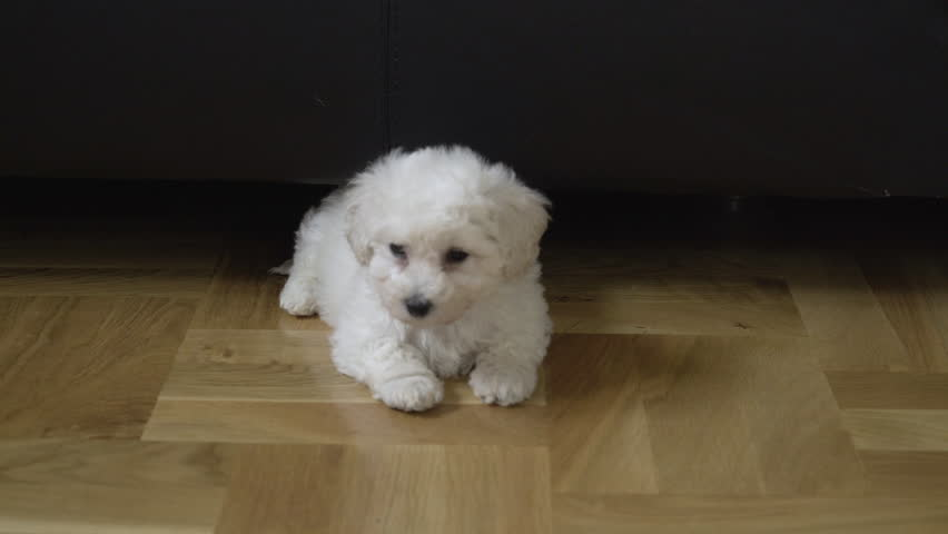 Baby bichon dog lying on floor in room and looking around, close up. Cute shy puppy turning and going under the bed. White doggy waving with little tail. Beautiful small pet in funny action at home.