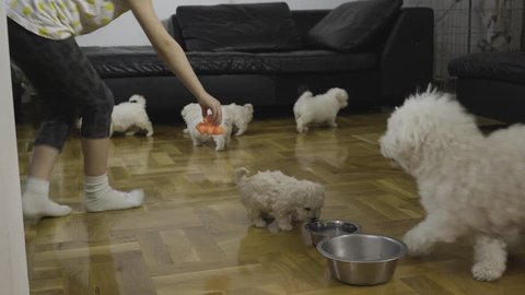 Little girl runs and using toys for pet to animates for game cute mother bichon dog while baby bichon puppies walking on floor in room. Female kid enjoying.in funny action with doggy, handheld shot.
