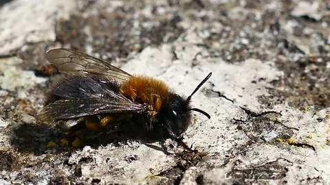 A Honey Bee cleaning its face