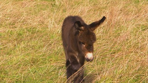 A full shot of a small donkey walking on a field.
