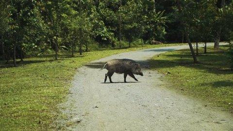 Wild boar on Pulau Ubin island walks across a small gravel path towards a patch of trees