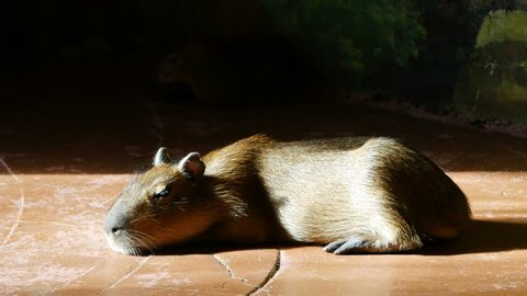 Capybara sitting on a floor in the zoo