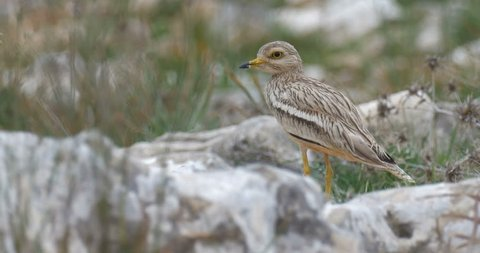 Stone Curlew in Jerusalem hills Stone Curlew standing on a rock, Israel