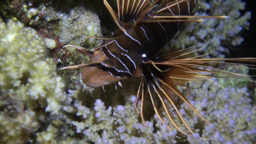 Radiant fish Clearfin lionfish Pterois radiata on sandy bottom of Red sea. Relax underwater video about marine animals.