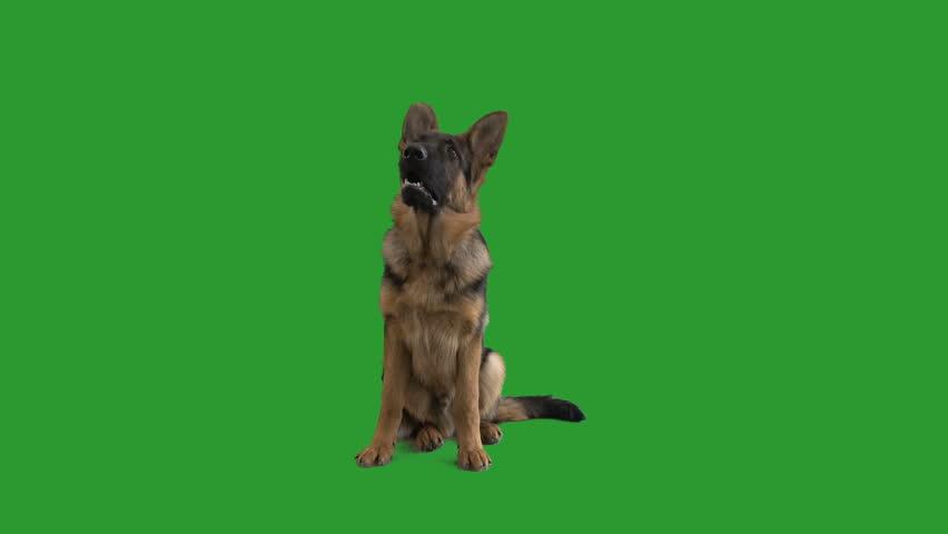 German shepherd barking on the green screen #1009225406