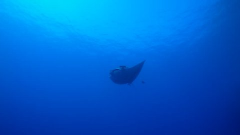 A large pelagic manta ray, Manta birostris, swims closely by in the clear blue tropical pacific ocean with large remora and trevally jack fish.  Sun in the background