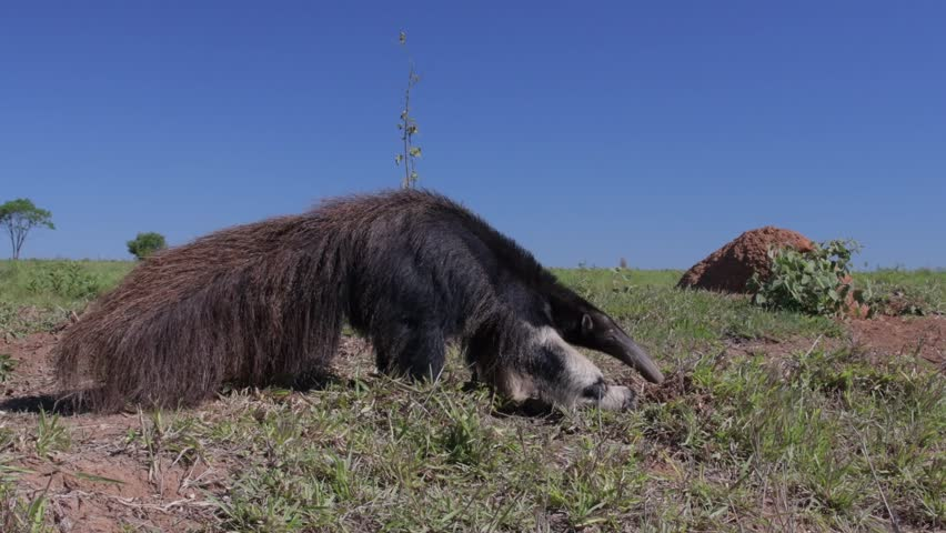 Giant anteater in its natural environment of Brazilian savanna eating termites from the ground