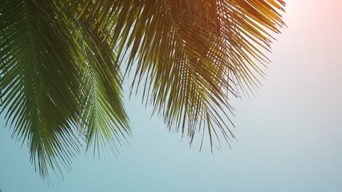 Leaves and fronds of a tropical coconut palm tree. sway in a breeze against the blue sky. in the Maldives.