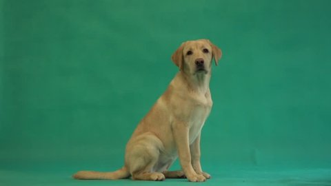 puppy of a labrador sits on a green background