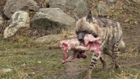 Striped hyena (Hyaena hyaena) carrying dead lamb