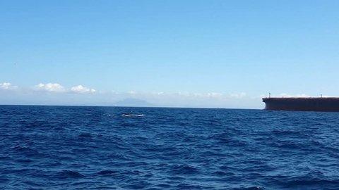 Humpback Whale (Megaptera novaeangliae) swim in bay of Vitória. Ship passes to the bottom. Espírito Santo, Brazil.