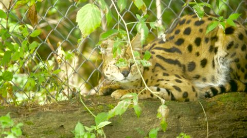 An African serval lies cautiously on a log near a chainlink fence