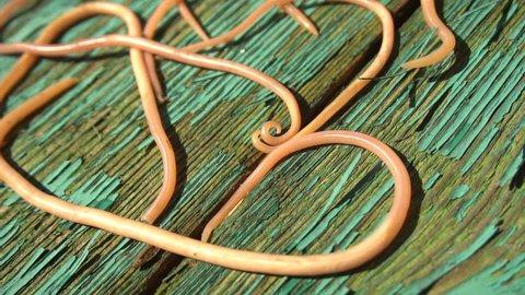 Ascari Parasitic Worms