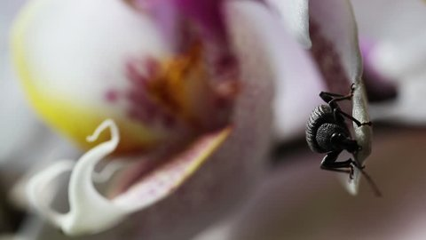 Weevil crawling on an orchid blossom. Close up macro of an insect on a flower. Black bug with big antenna climbing on a beautiful flower petal.