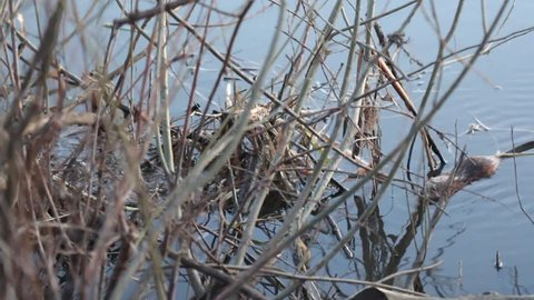 Muskrat at the bush of vine. Muskrat refers to rodents. It lives in freshwater reservoirs. The plot is shot in the evening.