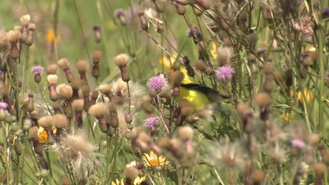 Goldfinch Bird Male Adult Lone Eating Summer