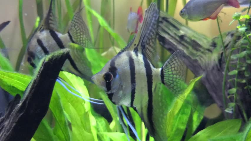Pterophyllum Scalare Most Commonly Referred Stock Footage Video
