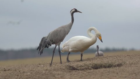 eurasian crane whooper swan walking bird animal beautiful feld scenery