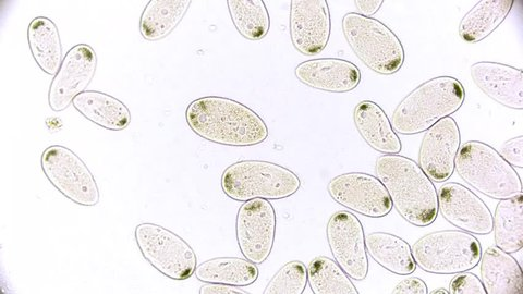 paramecium - microcosmos - microorganism - life in a drop of water under a microscope