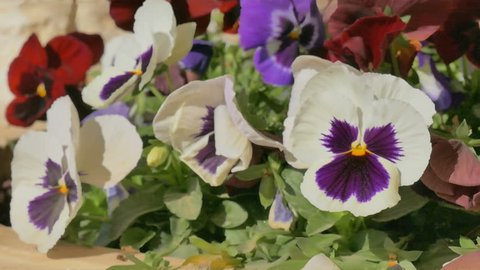 Some white pansy flowers with violet center and green leaves at wind